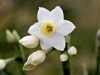 biely-narcis