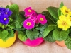 beautiful spring primula flowers in colorful buckets